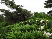 三宝荒神山に咲くシャクナゲ