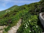 山頂間近の道端に咲くハクサンイチゲ