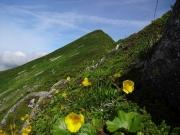 山頂間近の道端に咲くリュウキンカ