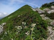 山頂間近の道端に咲くヒナウスユキソウ