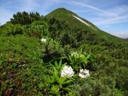 山頂間近の道端に咲くシャクナゲ