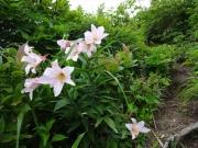 地蔵岳に咲くヒメサユリ