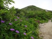 山頂への道を飾るハクサンフウロ