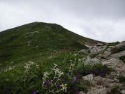 山頂への道を飾るヒナウスユキソウ