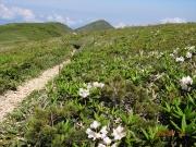小柄なシャクナゲの背景に巻機山と割引岳