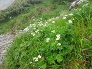 千畳敷に咲くハクサンイチゲ
