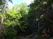 少し明るくなった林道に咲くシャクナゲ
