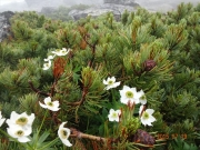 山頂付近に咲くハクサンイチゲ