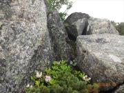 大岩の陰に身を守って咲くシャクナゲ