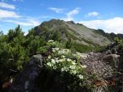 登山道脇に咲くタカネツメクサ