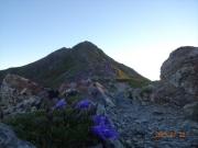 チシマギキョウと北岳