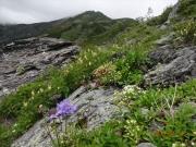 悪沢岳への道に咲く花