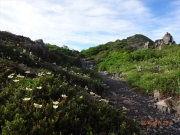 登山路を飾るチングルマ