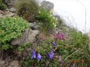 稜線道端に咲くチシマギキョウ等々