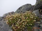 東峰と西峰の稜線上に咲くシコタンソウ