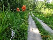 クルマユリ、コバギボウシ等が咲く木道