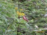羽がとても綺麗がアサギマダラ蝶