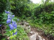 登山道の脇に咲くトリカブト