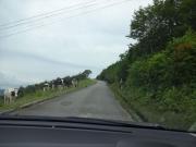 黒菱に向かう山道で放牧牛に遭遇