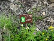 登山道脇には花解説~エゾシオガマ