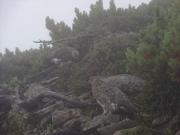 山頂付近の雷鳥