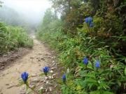 オヤマリンドウの咲く霧の登山道