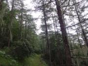 池の茶屋巻道の唐松とサルオガセ