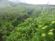 登山道脇に咲くイワベンケイ