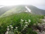 ヒナウスユキソウの咲く縦走路
