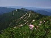 祝瓶山と飯豊連峰をバックに咲くヒメサユリ