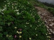 チングルマ、イワカガミ、他色々な花々