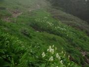 コバイケイソウが連なる登山道