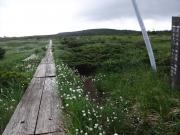 長十郎から東大巓にワタスゲ咲く縦走路