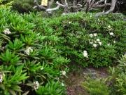 烏帽子山の咲くシャクナゲ