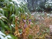 雪の寒さから身を守るリンドウ?