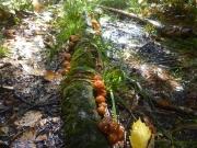 倒木に生えたナメコを有難く収穫