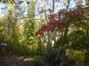 楓の上の枝葉から紅葉が始まっていた