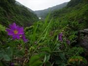 羽衣峠の登り道に咲くエゾコザクラ
