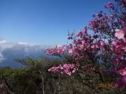 祖母山頂の花