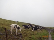 防寒のため寄り添う牛達