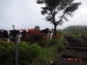 可愛い牛達の牧場脇を通過
