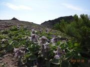 山頂付近のイワブクロ