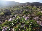 登山道に咲くイワブクロ