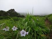 トムラウシ公園の花1