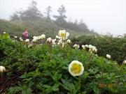 道端に咲くチングルマ、コイワカガミ