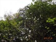登山道途中に咲くタムシバ