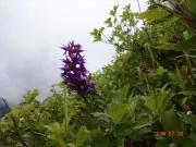 山頂直下に咲くハクサンチドリ